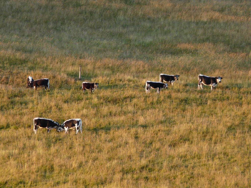 Vaches vosgiennes manque de fourrage